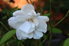 White Rose - Marilyn's Flower Garden (danjdavis) Tags: flower marilynsflowergarden whiterose rose whiteflower