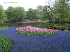 Dutch Tulips, Keukenhof Gardens, Holland - 0762 (HereIsTom) Tags: travel flowers flower holland nature netherlands dutch gardens garden spring europe colours tulips sony cybershot olympus tulip bloom keukenhof tulpen tulp webshots e500 f505