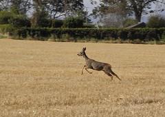 Roes on the run! (rockwolf) Tags: mammal scotland wildlife running roedeer 2012 capreoluscapreolus usan rockwolf