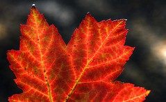 Maple (riclane) Tags: light fall leaf colours fallcolors ottawa mapleleaf