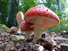 Amanita muscaria (giansacca) Tags: amanitamuscaria funghi fungo fungi fungus mushroom mushrooms champignons ciuperci pilz seta hongo fliegenpilz toadstool flyamanita flyagaric ovolomalefico