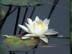 Midsummers waterlily 36 (Ylva Budsjö - on and off) Tags: flower nature water lilly bog