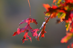 red (Sheeps and Peeps Farm) Tags: autumn fall morninglight autumnleaves owp shuttersisters onewordproject