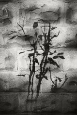 Rose Bush Shadow on Cinder Block (frntprchprss) Tags: shadow blackandwhite rosebush blackwhitephotos cinderblockwall fixedshadows jamesgehrt