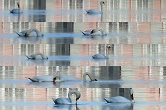 Le lac des cygnes (CGilles7) Tags: düsseldorf schlossbenrath lelacdescygnes gilles7