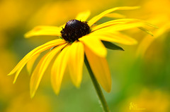 Yellow Glow (Carl Scott) Tags: plant black flower green yellow glow susan petal stamen eyed rudbeckia blackeyedsusan hirta rudbeckiahirta mygearandme mygearandmepremium mygearandmebronze blinkagain bestofblinkwinners ruby5