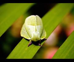 Lasiocampidae Moth (sasithorn_s) Tags: friends macro green nature garden insect thailand bangkok moth thegalaxy betterthangood mygearandme lasiocampidaemoth blinkagain