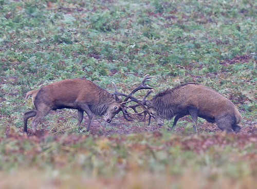 Red deer stags - Cervus elaphus
