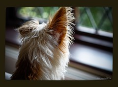 Listen....... (christilou1) Tags: dog macro jack 1 fuji russell x ear pro 60mm