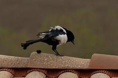 Drle d'oeuf (Le No) Tags: bird 31 oiseau picapica hautegaronne midipyrnes eurasianmagpie corvids stlon lauragais piebavarde passriformes collectionnerlevivantautrement octobre2012