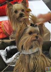 Cute yorkie dogs