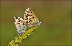 Silver Studded Blues (nigel kiteley2011) Tags: butterflies plebejusargus silverstuddedblue