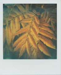 Autumn Glow (~ Meredith ~) Tags: uk autumn kewgardens colour london film leaves polaroid sx70 glow seasons sonar protect px70 impossibleproject