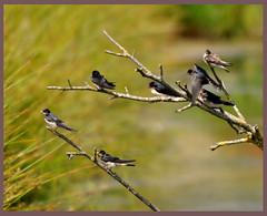 Swallows  Greylake D210bob 1224 (D210bob) Tags: swallows 1224 greylake d210bob nikond90300mm