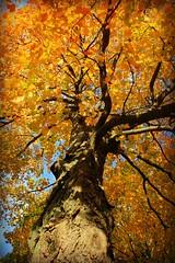 Glorious Fall (Read2me) Tags: autumn tree yellow leaves below lookingup thechallengefactory gamesweepwinner friendlychallenges herowinner superherochallengewinner pregamewinnersweep storybookwinner storybookchallengegroupotr favescontestwinner 15challengeswinner pregameduelwinner 3waychallengewinner ultraherowinner thumbsup gamex2winner x2 15challenges flickrchallengewinner challengeyouwinner yourockwinner yourockunanimous challengegamewinner gamex3winner x3 ultimategrindwinner bigmomma agcgwinner challengeclubwinner thepinnaclehof tphofweek274 perpetualchallengewinner