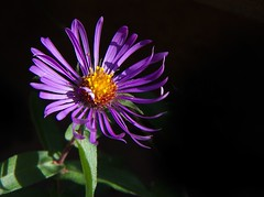Fall Aster (Mary Susan Smith) Tags: sunlight flower fall purple naturallight superhero aster onblack bigmomma oneflower challengeyouwinner 3waychallengewinner cychallengewinner herowinner pregamewinner gamesweepwinner