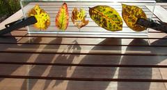leaves (bangli 1) Tags: leaves bltter glas