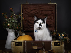 My crazy cat! (janetmeehan) Tags: autumn portrait stilllife color halloween leaves animal cat canon vintage studio studioportrait tabletop autumnscene petportrait catchlights catportrait animalportrait stilllifephotography vintagesuitcase catmoments