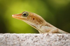 Eye Can See You :-) (Baggers 2013) Tags: gecko  stlucia soufrire tropics hot humid lizard green wall eye hideandseek cute sticky tropical jungle rainforest october baggers2012 saintlucia caribbean  macro  flickrchallengegroup flickrchallengewinner bokeh blurred soft warm lush glowing reptile shallowdepthoffield