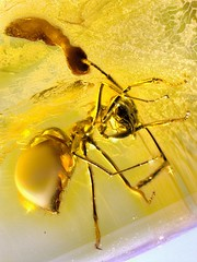 Baltic amber (45 myo) - Formicidae -  ant + ant larva? (leth.damgaard) Tags: beautiful closeup bug insect poster fossil amber ancient perfect raw pics unique postcard ant familie picture insects baltic bugs postcards buy mineral huge creatures biology insekt rare bursztyn jantar description extinct anders raf antennae fossils eocene bernstein ambre extremely arthropod rav mbar hymenoptera inclusion leth gintaras insekter  formicidae dzintars barnsteen fossilised  borostyn millimetre inklusion damgaard amberinclusions merevaik meripihka  amberinsect amberfossil succinicacid  wwwamberinclusionsdk  andersdamgaard sjlden