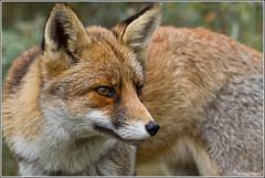 Vos - Fox (Wim Boon Fotografie) Tags: nature netherlands nederland natuur fox 7d awd vos blij amsterdamsewaterleidingduinen zoogdier canon300mmf4lis wimzilver rugzakvos vulpesvulpus