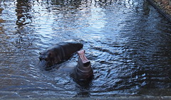 I WILL EAT YOU ALL (skittledog) Tags: dublin hippos hippopotamuses dublinzoo onebigonelittle