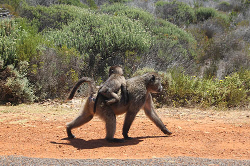 Baboons-3-Table Mountain National Park