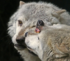 (Gary's Photos. 3 Million views) Tags: ireland dublin nature animal canon photography eos grey zoo photo wolf flickr foto image wildlife gray canine 7d lobo loup lupus wolves phoenixpark greywolf canis dublinzoo canislupus canid 100400l graywolves garywilson platinumheartaward