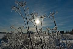 Frosty (-ASa) Tags: winter sun snow sticks frost da15