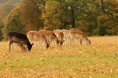 Knole Park (yve1964) Tags: tree animal kent stag wildlife deer nationaltrust reddeer antler knolepark