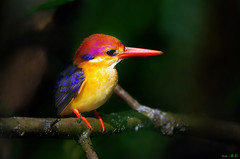 Oriental Dwarf Kingfisher in the dark... (kengoh8888) Tags: wild black cute pose dark pentax background kingfisher perch stick backed avian k5 smallbird thegalaxy colorfulbird kfclean