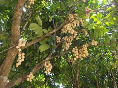 Lanzones on tree (Carrascal Girl) Tags: camiguin mambajao lanzones bugong nypastyleresort