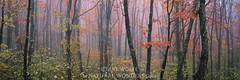 Forest Mist (Natural-Wonders-Gallery) Tags: leaves minnesota landscape oak fallcolors panoramic oaktree lakesuperior fineartphotography superiornationalforest artwolfe naturalwondersgallery