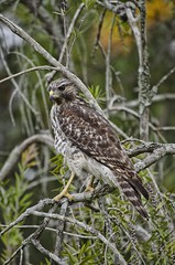 red shoulder hawk (artbylink) Tags: pictures photoshop florida hawk fl hdr topaz redshoulderhawk topazadjust artbylink nikond5100