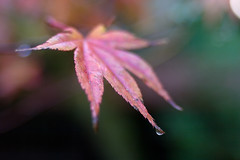 Palmate & serrate (Skink74) Tags: uk morning autumn red england 20d water leaf dof bokeh hampshire drop canoneos20d acer damp hursley palmatum palmate serrate nikkor35f14 nikkor35mm114ai