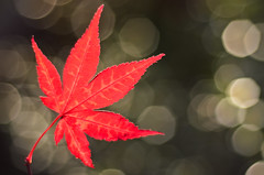 Autumn Red (JonTaylor71) Tags: autumn red 50mm leaf nikon bokeh acer dslr 50mmf18 autumnred autumnleaf nikondslr autumnbokeh acerleaf d7000 nikond7000