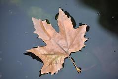 Hojas de otoño (Naita...) Tags: hoja andalucía agua reflejo otoño soledad jaen espera úbeda flota anasáenzfotografía