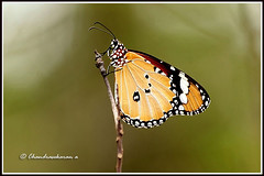 "2571 - plain tiger butterfly- ""Explored"" (chandrasekaran a 560k + views .Thanks to visits) Tags: india nature butterfly eos insects chennai plaintiger thegalaxy canon60d blinkagain"
