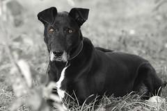 Black Dog (chribs) Tags: dog pet animal hund haustier tier