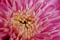 01-05-pink-chrysanthemum (Paul Sibley) Tags: flower photoaday nikond60 2013inphotos