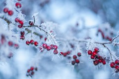 Winter Color (icemanphotos) Tags: blue trees winter red ice frost berries bokeh frosty icemanphotos
