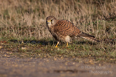 Kestrel (Sadloafer) Tags: uk bird nature grass horizontal closeup outdoors photography day hawk wildlife yorkshire hunting fulllength nopeople falcon kestrel birdofprey animalsinthewild oneanimal beautyinnature animalthemes colourimage differentialfocus sadloafer hansdavisphotography