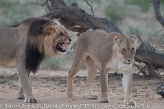 """Lion Couple • <a style=""""font-size:0.8em;"""" href=""""http://www.flickr.com/photos/56545707@N05/8365596482/"""" target=""""_blank"""">View on Flickr</a>"""
