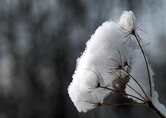Winter 2013 Snow Wool Flower (Thoran Pictures (Thx for more then 3.5 million vie) Tags: snow art dutch photography pretty fotografie pentax sneeuw nederland wit zon k5 sneeuwlandschap thoran degans justpentax pentaxart f7d madebythoranpictures arnolddegans pentaxda1281650mmsdm arnoldrtdegans prefoto7daagse theuseofanyoftheimagesinthissetwithoutpriorwrittenpermissionisprohibitedwiththeexceptionofpersonalusebytheindividualsportrayedtherein