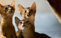 All (peter_hasselbom) Tags: cats cat 50mm daylight kitten f14 naturallight kittens siblings litter usual abyssinian ruddy 14weeksold 3cats 3kittens