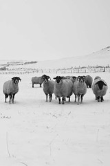 Woolly sheep in a blanket of snow (The Rural Eye) Tags: camera winter food snow mountains west eye english wool rural newcastle landscape photography james photo spring buxton university photographer shropshire sheep cheshire image farm district derbyshire traditional hill farming flock north under january archive picture culture photojournalism documentary peak william meat professional lee land chop lamb production farms british humphrey farmer ba tradition agriculture inspirational blizzard baa staffordshire herd hughes mutton journalism lyme degree freelance midlands woolly spender ovine 2013 ravilious leewilliamhughescom