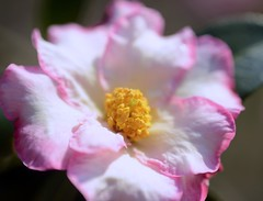 Indian Summer:山茶花 (love_child_kyoto) Tags: winter flower kyoto サザンカ 山茶花 camelliasasanqua camellia sasanqua botanicalgarden naturesfinest masterphotos artisticflowers takenwithlove nikond800 マスター写真 ニコンd800