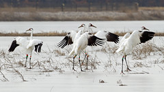 Whooping Cranes by Steve Gifford (Steve Gifford - IN) Tags: county bird nature photo wildlife steve picture indiana cranes photograph steven society gibson audubon gifford ias whooping haubstadt