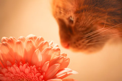 Kitty sniffing flower (SolsticeSol) Tags: flower love cat kitty coco gerbera catsniffingflower beautifulflowerpictures beautifulflowerimages kittysniffingaflower