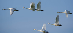 Whooper Swans (Dec Roche) Tags: ireland nature wildlife swans birdsinflight wexford whooperswans